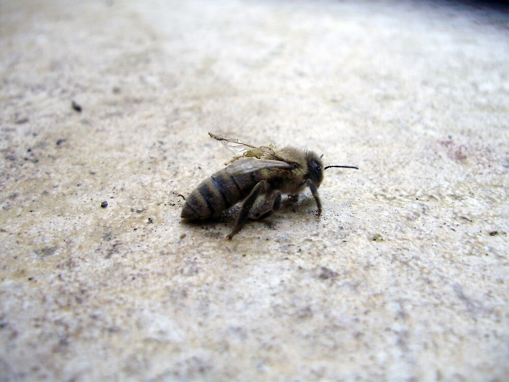 A dying bee by ratza313