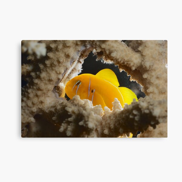 Lemon goby kindergarden Canvas Print