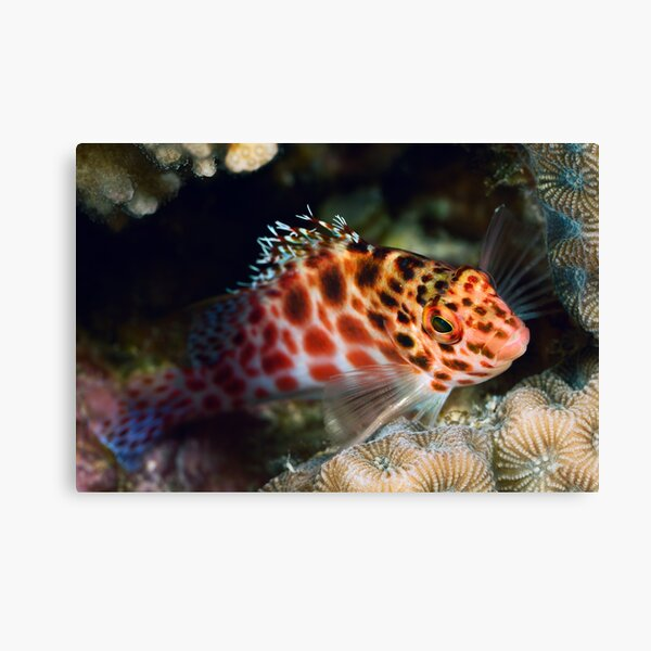 Hawkfish portrait Canvas Print