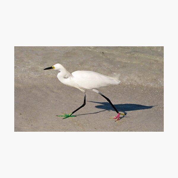 Snowy Egret - Red Green Morph Photographic Print