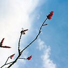 Ocotillo In Bloom, Harquahala Plain, Arizona by Chris Clarke