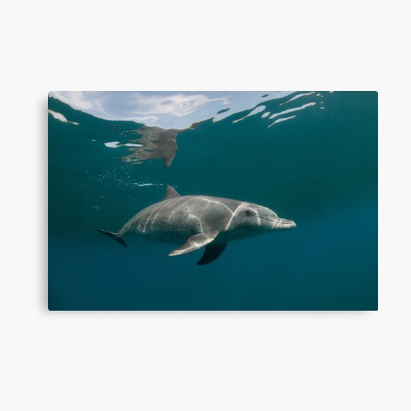 Eye to eye with dolphin Canvas Print