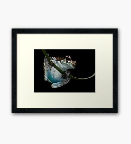 Blue bummed frog Framed Print