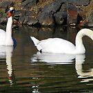 Swan Lake Reflections  by David Dehner
