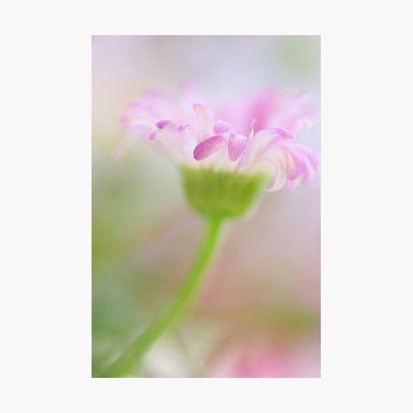 .blush. Photographic Print