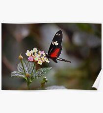 Parides Iphidamus (Transandean Cattleheart) Butterfly Poster