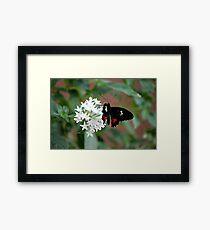 Parides Iphidamus (Transandean Cattleheart) Butterfly Framed Print