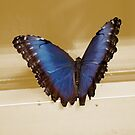 Morpho Micropthalmus (Blue Morpho) Butterfly by Stormygirl