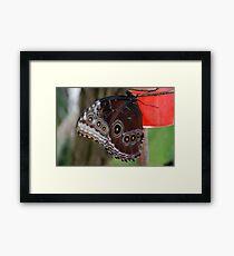 Junonia Coenia (Common Buckeye) Butterfly Framed Print