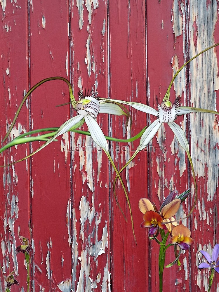 Longicordia Orchid with Red Painted Wall, native orchids of Western Australia. by yallmia