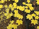 Golden Yellow Maple Leaves by MarjorieB