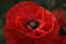 Poppy Day by John Dalkin