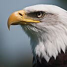 Bald eagle by Novi