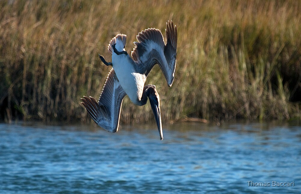 Pelican Makes the Big Dive by TJ Baccari Photography