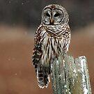 Barred Owl  2 - Ontario Canada by Raymond J Barlow