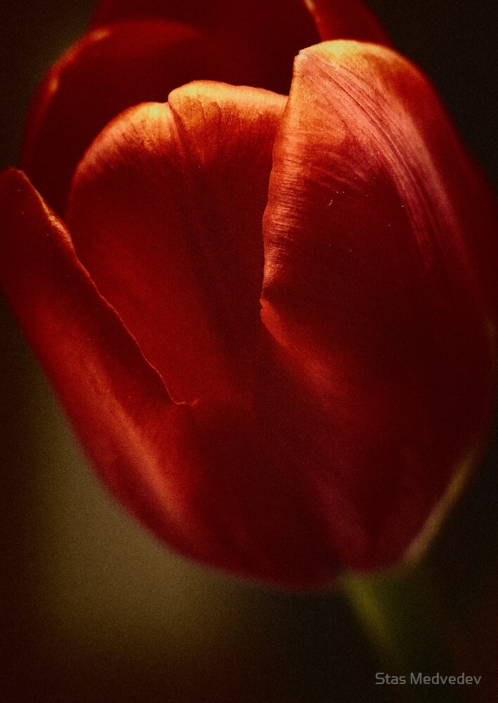 Red Tulip by Stas Medvedev