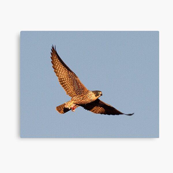 111210 Peregrine Falcon Canvas Print