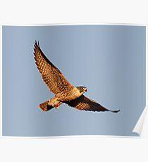 111210 Peregrine Falcon Poster