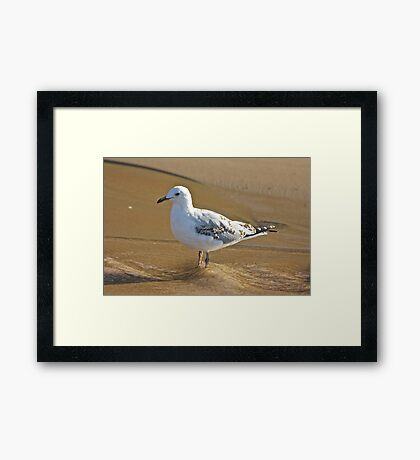 Young Seagull Framed Print