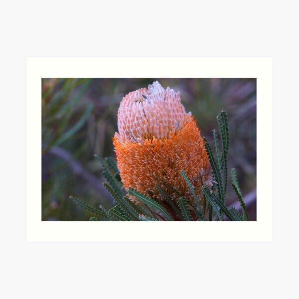 Banksia hookeriana  Art Print