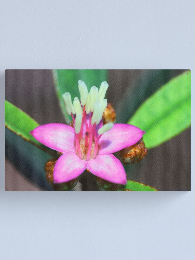 Alternate view of Phebalium woombye Canvas Print