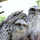 Tawny Frog Mouths by gillyisme53