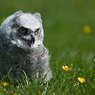 A Young Owl by Novi