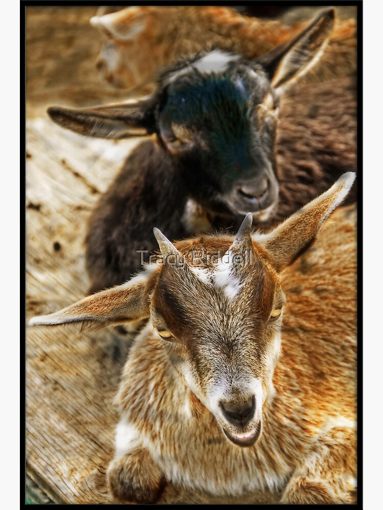 Goats in the barnyard by taos