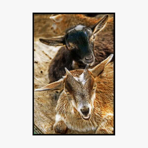 Goats in the barnyard Photographic Print