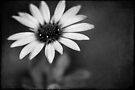 simply daisy by Ingrid Beddoes