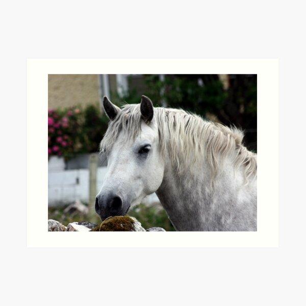 Grey Connemara Pony looking over a stone wall Art Print