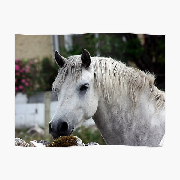 Grey Connemara Pony looking over a stone wall Poster