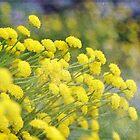 Santolina Rosmarinifolia by Astrid Ewing Photography