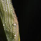 Daffodil Drops by Rebecca Cozart