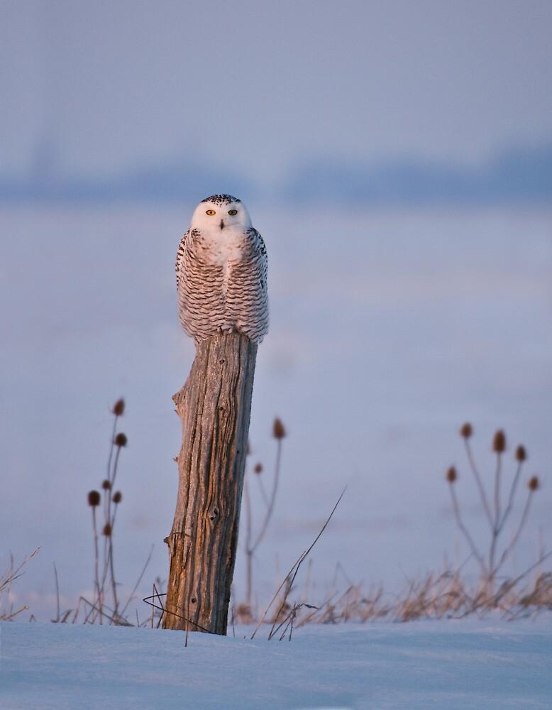 Snowy Owl on a Post - Arthur Ontario, Canada by Raymond J Barlow