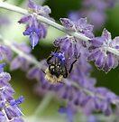 Bee on Lavender - Dunrobin Ontario by Debbie Pinard