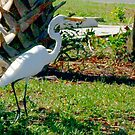 Great egret exploring the park by ♥⊱ B. Randi Bailey