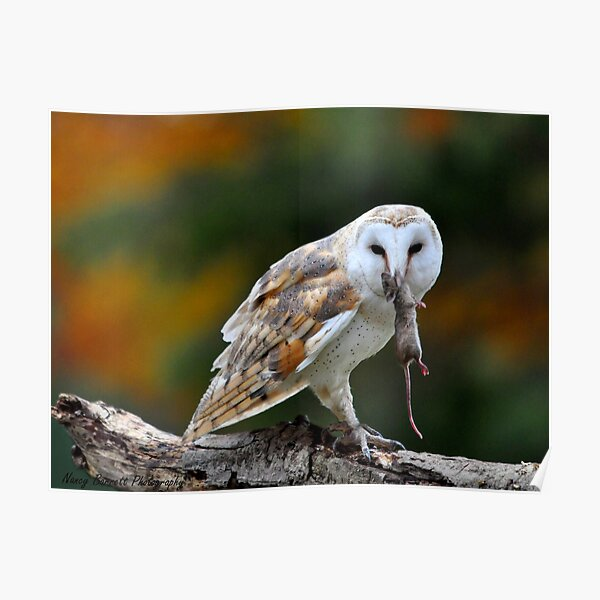 Barn Owl with Dinner Poster