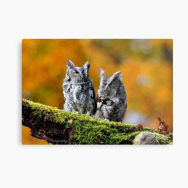Eastern Screech Owl Pair Metal Print
