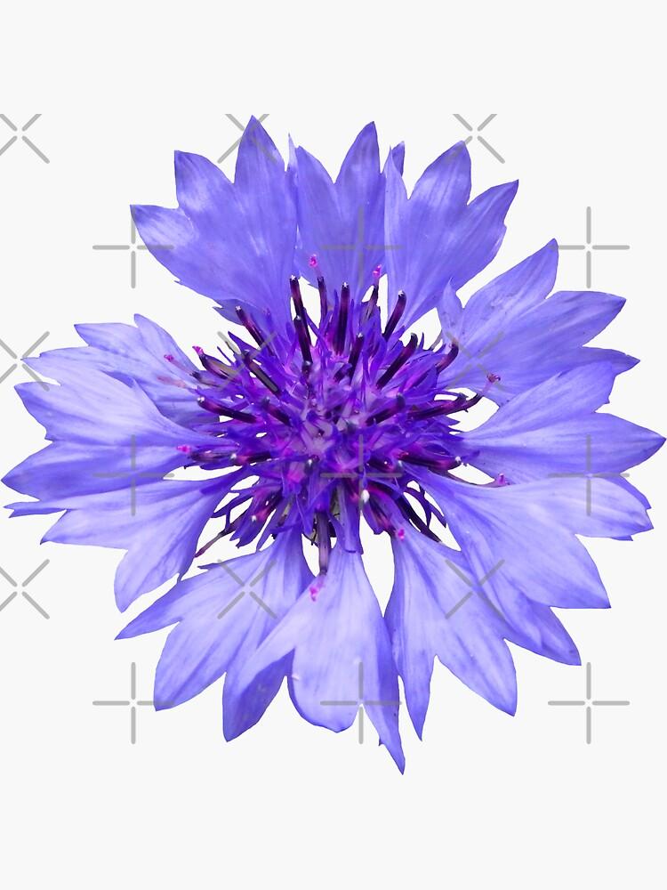 blaue Kornblume, Blume, Blumen, Blüte, Garten von rhnaturestyles