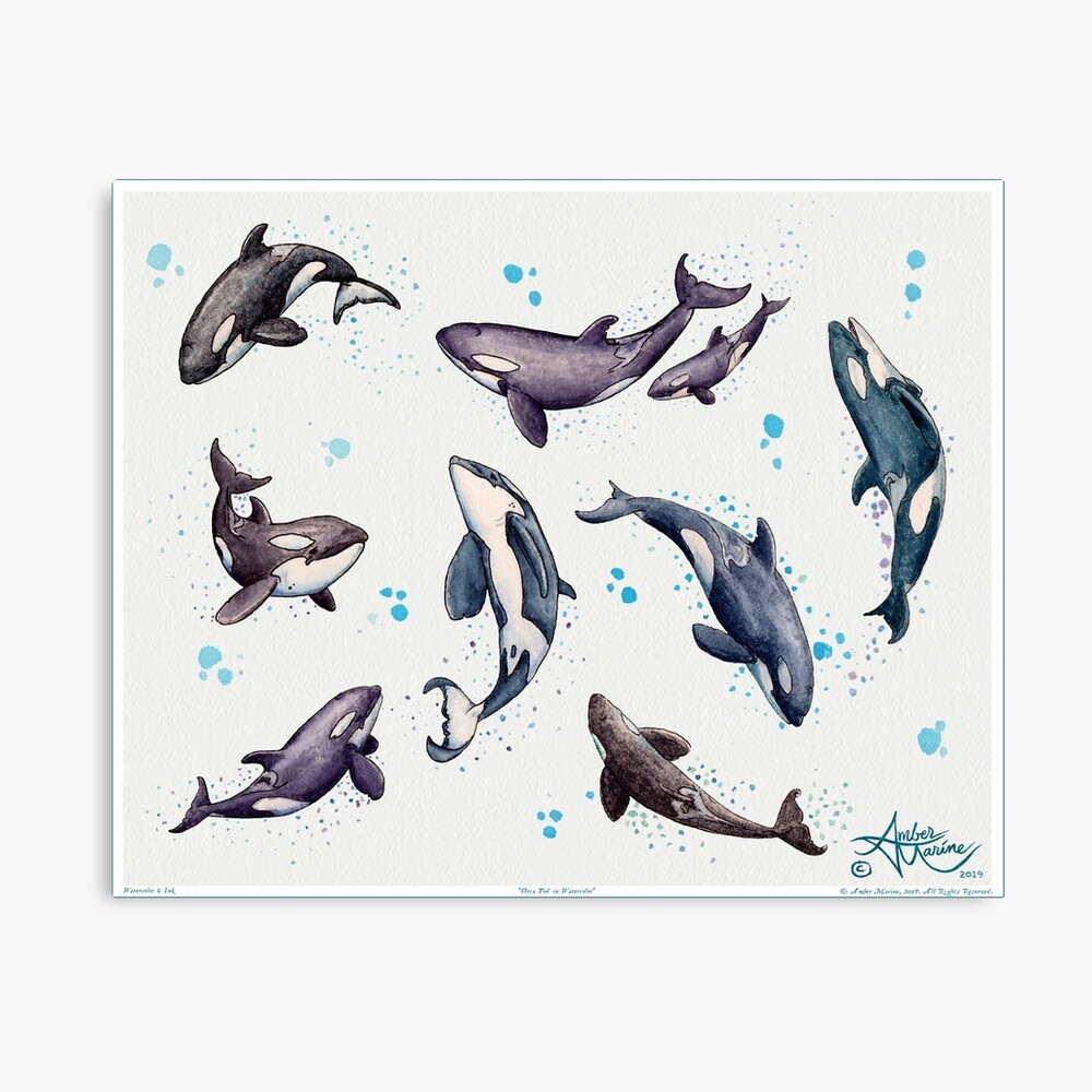 """""""Orca Pod in Watercolor"""" by Amber Marine, Killer Whale Art, © 2019 Canvas Print"""