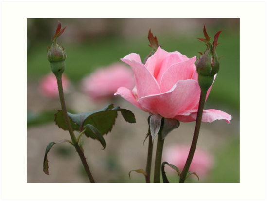 Pink rose with buds by Daphne Gonzalvez
