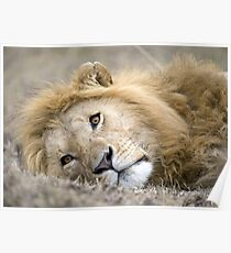 Mara Lion Poster