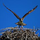 Osprey by flyfish70