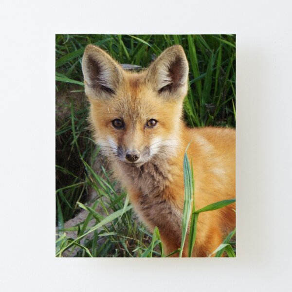 Curious Kit Canvas Mounted Print