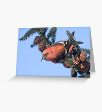 White-winged Crossbill. Greeting Card