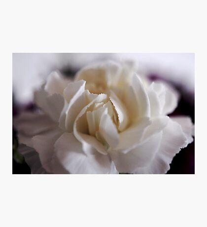 creamy dreamy carnation Photographic Print