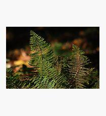 Ferns Photographic Print