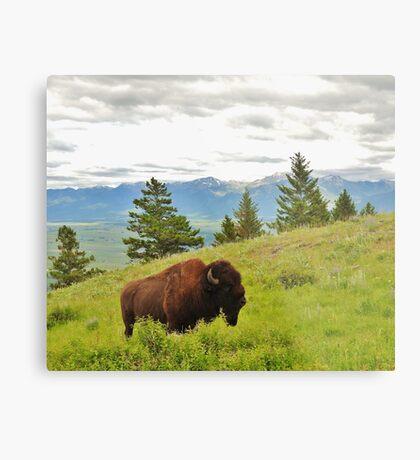 Spring Bison Metal Print