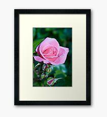Pink Rose and Bud Framed Print